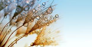 Daggdroppar på frö för en maskros på soluppgång arkivbilder
