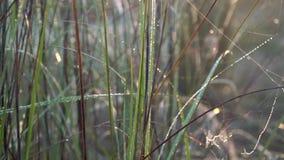 Daggdroppar på gräs med spindelrengöringsdukar i härligt morgonsolljus på Sinrise lager videofilmer