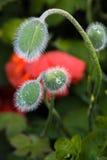 Daggdroppar på knoppen Royaltyfria Bilder