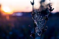 Daggdroppar på spindelrengöringsduken Royaltyfri Bild