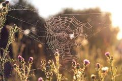 Daggdroppar på spindelrengöringsduken Royaltyfri Foto