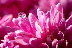 Daggdroppe på blomman Arkivbilder