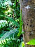 Daggecko från Madagascar arkivfoton