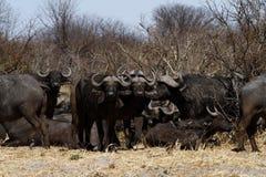 Dagger Boy; African Buffalo Royalty Free Stock Photo