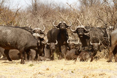 Dagger Boys; Afrikaanse Kaapbuffels stock afbeelding
