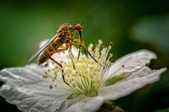 Dagger Fly som här ses, är nectaring matning för den Empis opacaen på en dewberryblomma Dessa flugor är gemensamma genom hela Eur royaltyfri fotografi