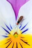 Dagger fly viola Royalty Free Stock Image