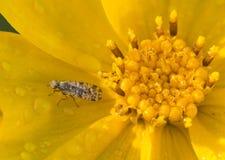 Dagget av fruktflugor Royaltyfria Foton