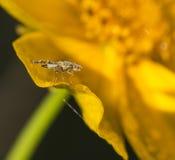 Dagget av fruktflugor Fotografering för Bildbyråer