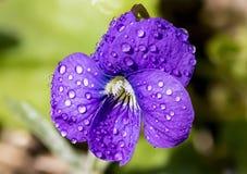 Daggig purpurfärgad Violet för makro Royaltyfria Foton