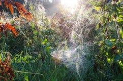 Daggig spiderweb för höstmorgon på växtsolljus Arkivfoto