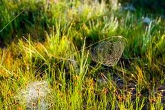 Daggig spindelrengöringsduk som dinglar från ett grässtrå Arkivfoto
