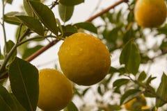 Daggiga citroner som hänger på trädet Royaltyfri Foto
