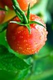 Daggiga tomater Arkivbild