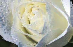 Daggiga vita Rose Macro Arkivbild