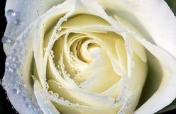 Daggiga vita Rose Macro Royaltyfria Bilder
