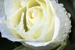 Daggiga vita Rose Macro Royaltyfri Bild