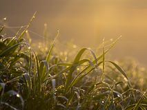 Daggigt gräs med spindelrengöringsduk Arkivfoto