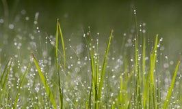 Daggpärlor på grönt gräs Arkivfoton