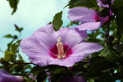 Daggsmå droppar på att bedöva den rosa och purpurfärgade blomman arkivfoto