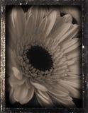 dagguereotype雏菊repro 免版税库存照片