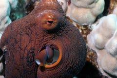 daghawaiibobläckfisk Royaltyfria Bilder