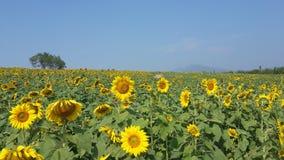 daglantgården fields den soliga små solrosen Arkivbild