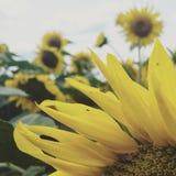 daglantgården fields den soliga små solrosen royaltyfri fotografi