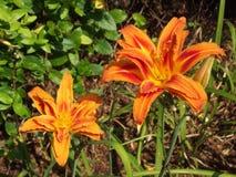 Daglelie met drievoudige bloemblaadjes Stock Afbeeldingen