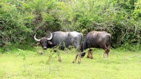 Dagligt liv för foder för vänvattenbuffel med skogen royaltyfri foto