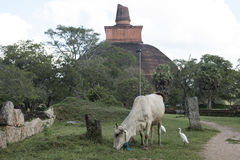 Dagoba ancient in Anuradhapura, Sri Lanka. Dagoba ancient and sacred cows in the archaeological park of Anuradhapura, Sri Lanka royalty free stock photos