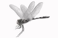 Dagonfly on white background. Black and white dragonfly on white background Stock Image