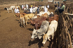 Dagoretti slaughterhouse in Nairobi, Kenya, Africa a holding tank for cows and goats to be killed in slaughterhouse stock photography