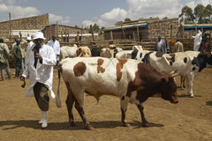 Dagoretti slaughterhouse in Nairobi, Kenya, Africa a holding tank for cows and goats to be killed in slaughterhouse Stock Images