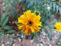 Dahas pethiya flower sri lanka Royalty Free Stock Images