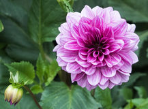 Dahila púrpura Imagen de archivo libre de regalías