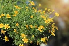 Dahlberg amarillo Daisy Gold Carpet o el paño grueso y suave de Gloden florece con la luz caliente imagen de archivo