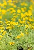 Dahlberg Daisy Flowers. Royaltyfria Bilder