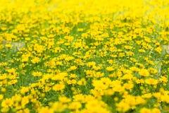 Dahlberg daisy, Gold carpe flowers Stock Photos