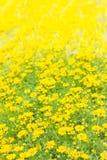 Dahlberg daisy, Gold carpe flowers Stock Photo