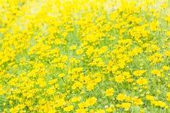 Dahlberg daisy, Gold carpe flowers Royalty Free Stock Photos