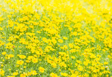 Dahlberg daisy, Gold carpe flowers Royalty Free Stock Image