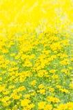 Dahlberg daisy, Gold carpe flowers Stock Images
