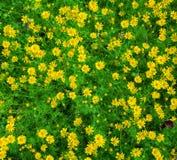Dahlberg daisy Stock Image