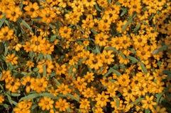 Dahlberg Daisy. Royalty Free Stock Photo