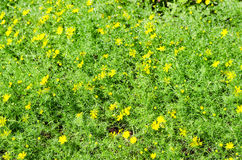 Dahlberg Daisy Yellow. Fresh Dahlberg Daisy Yellow with water drops Royalty Free Stock Photography