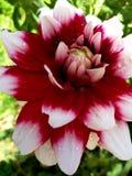 Dahlia élégant rouge et blanc Photographie stock