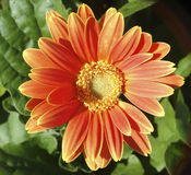Dahlia. Photo of a Dahlia stock photo
