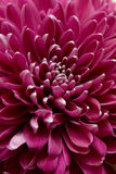 Dahlia 1. Closeup of fresh purple dahlia Royalty Free Stock Images