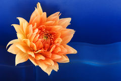 Dahlia. Royalty Free Stock Images